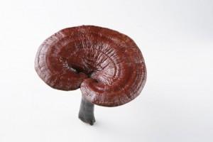 Rode Reishi paddenstoel
