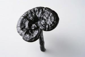 Zwarte Reishi paddenstoel